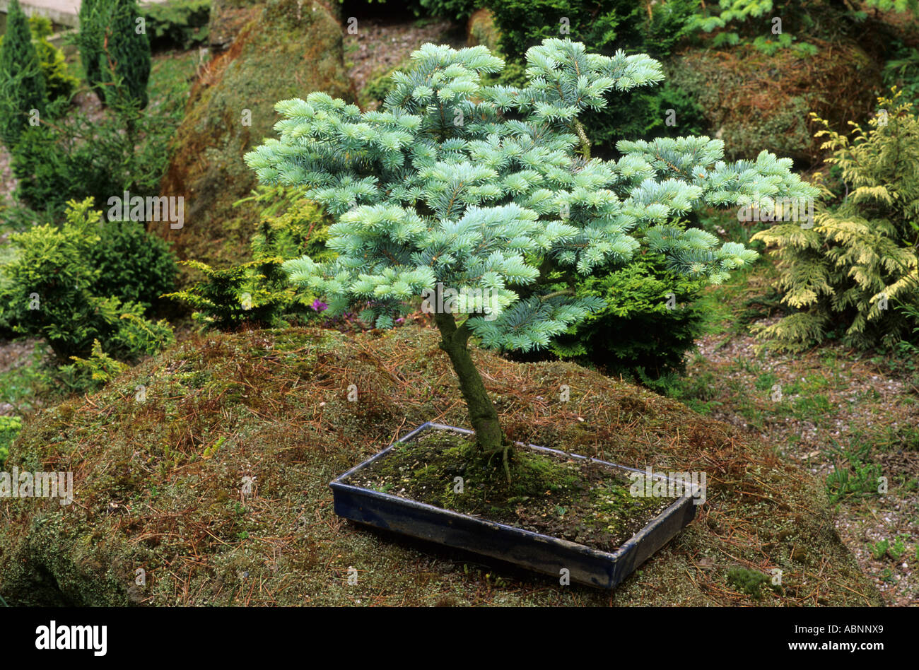 P p Glauca Globosa miniature tree in container bonsai Japanese garden style evergreen plant