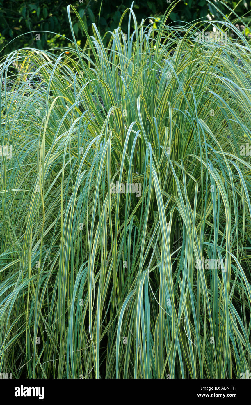 cortaderia selloana 39 aureolineata 39 pampass grass yellow. Black Bedroom Furniture Sets. Home Design Ideas
