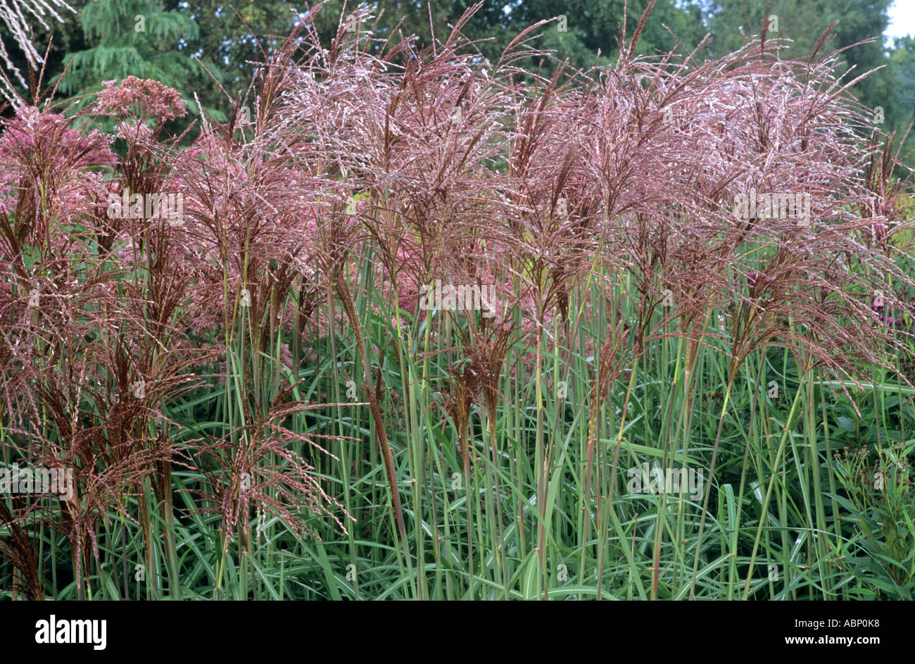 miscanthus sinensis 39 malepartus 39 autumn colour garden. Black Bedroom Furniture Sets. Home Design Ideas