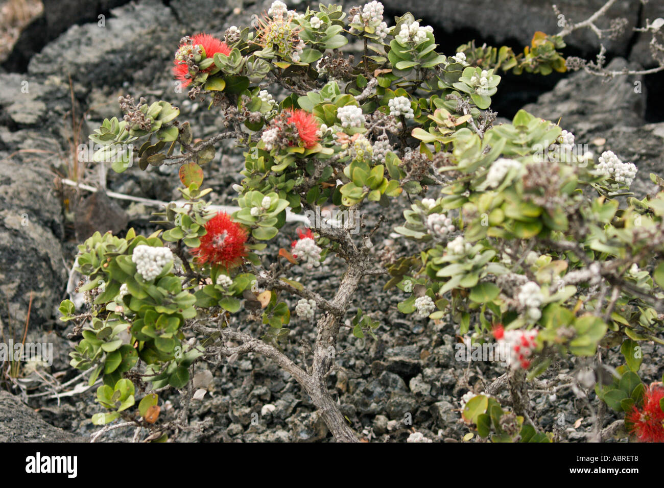 how to grow lava hairgrass plant