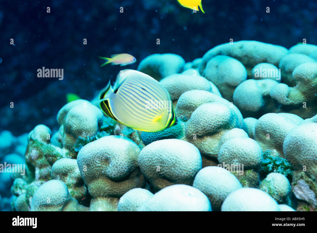 the melon butterfly fish