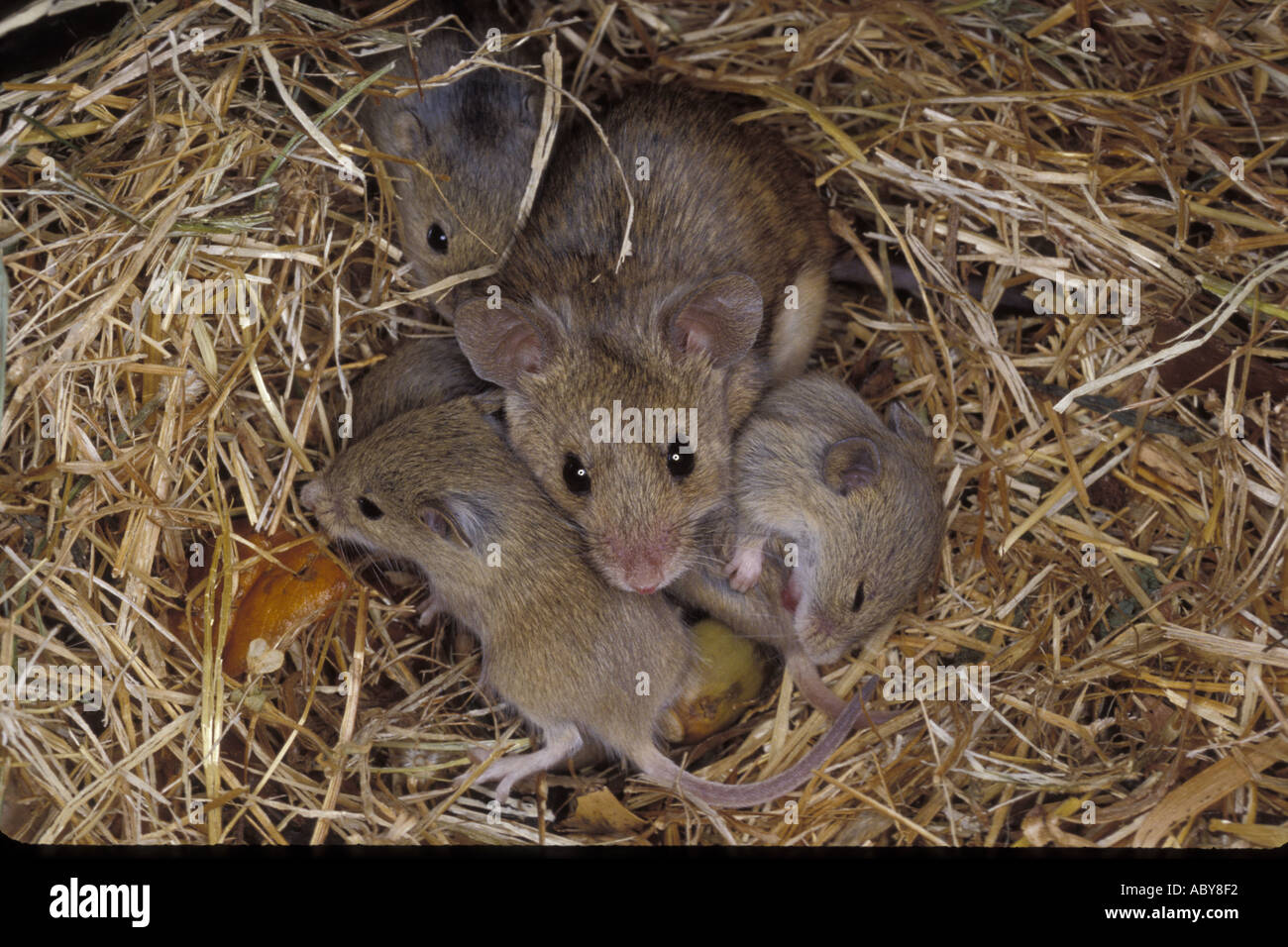 house mouse with babies mus musculus spain sanz visual