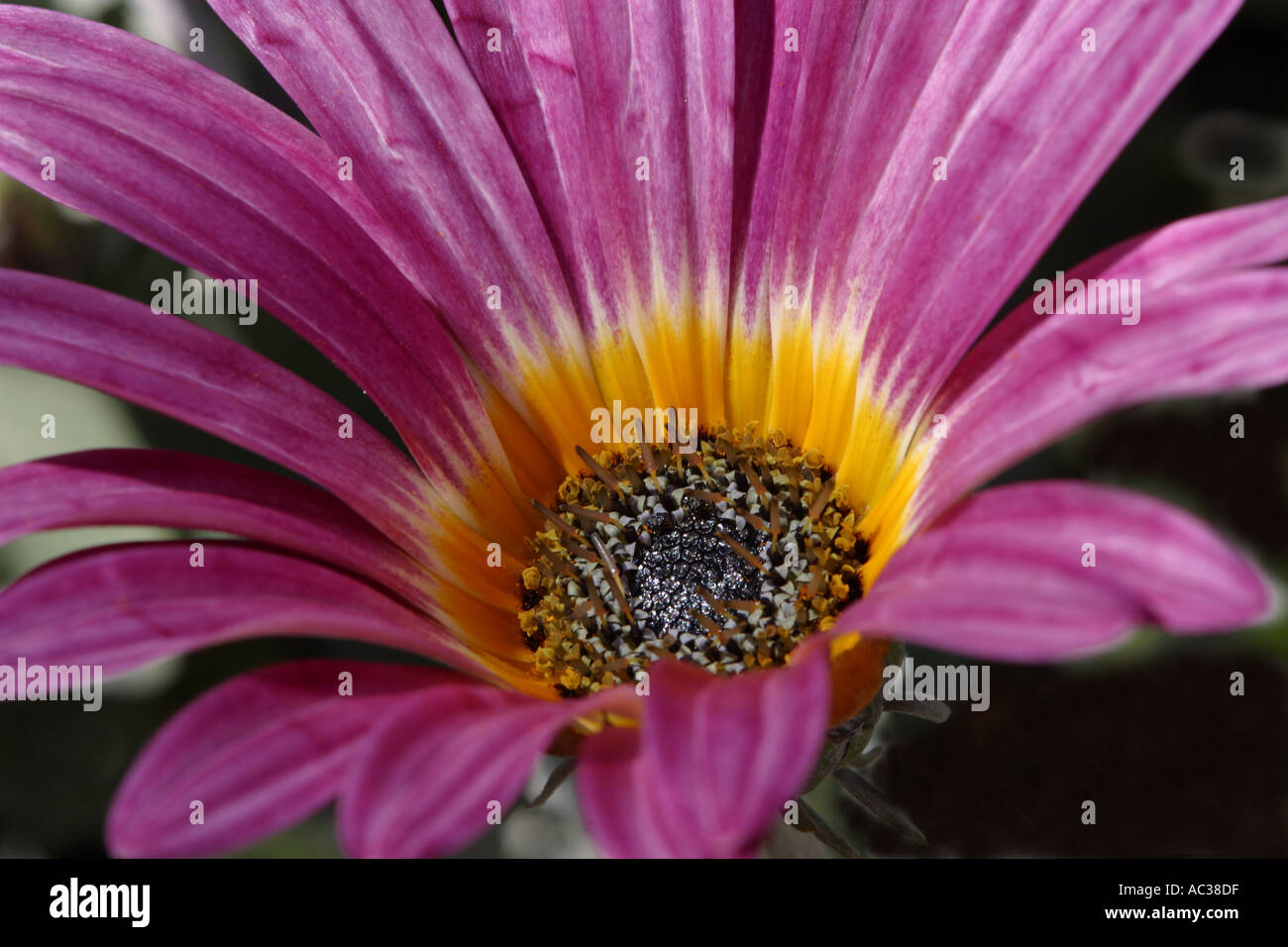 Arctotis flower stock photography of flowers a type of daisy arctotis flower stock photography of flowers a type of daisy growing in namaqualand south africa dhlflorist Images