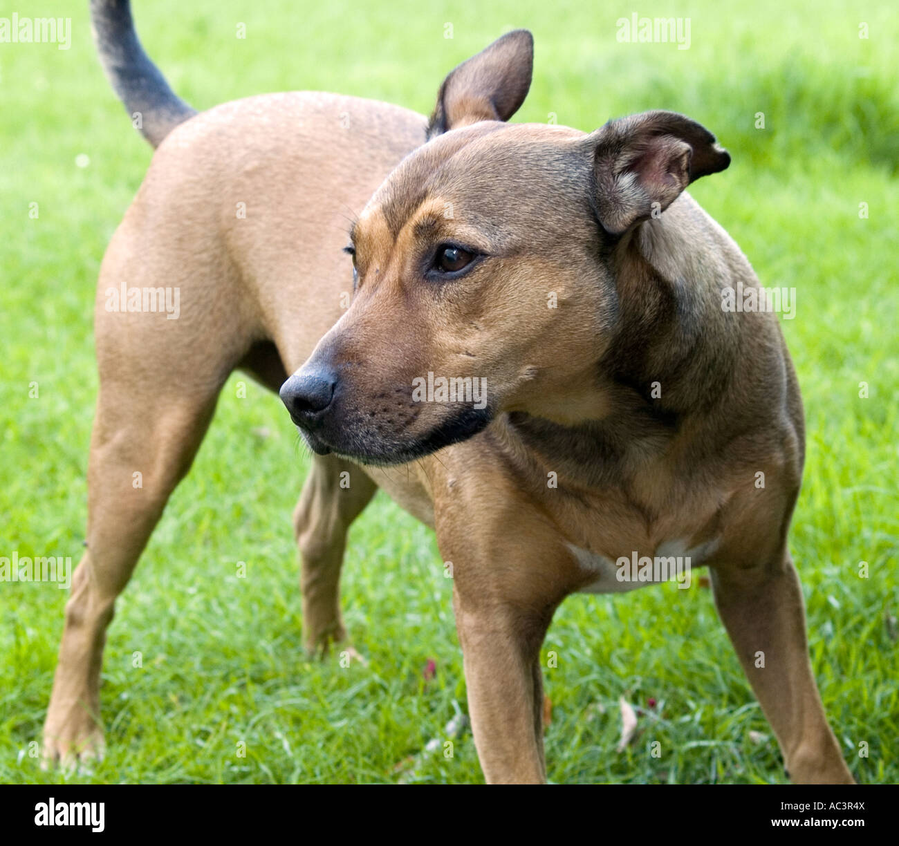 A Brown Staffordshire Bull Terrier Cross, Male Dog Stock