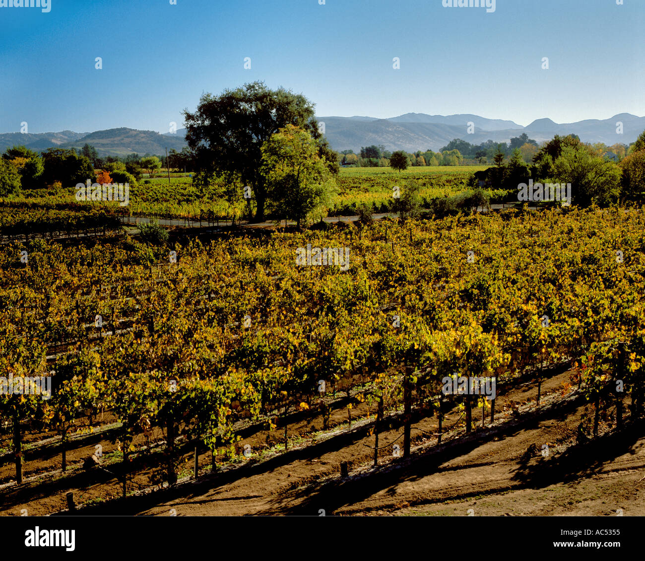 Flora Springs Winery >> GRAPE VINES of the Flora Springs Winery turn gold in the NAPA VALLEY Stock Photo, Royalty Free ...