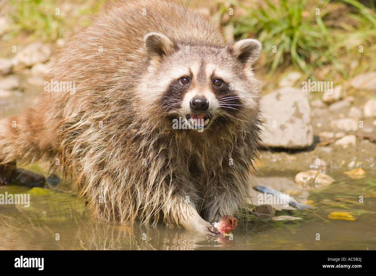 a common raccoon procyon lotor eating a fish at a pond stock