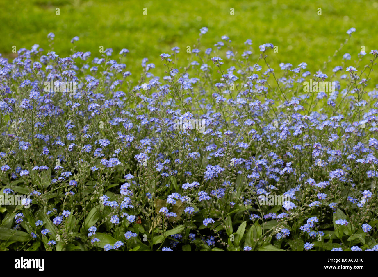 Blue flowers of Alaska state plant field for me not plant Stock Roy