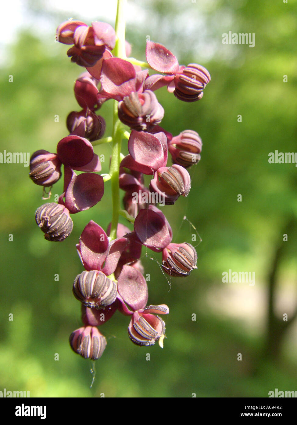 five-leaf akebia, chocolate vine (Akebia quinata), male Stock ...