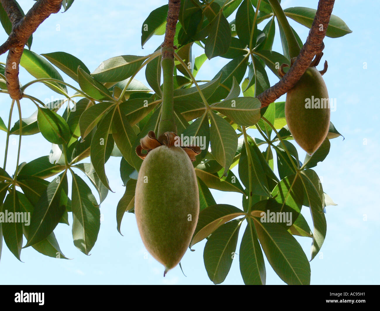 Baobab tree fruit