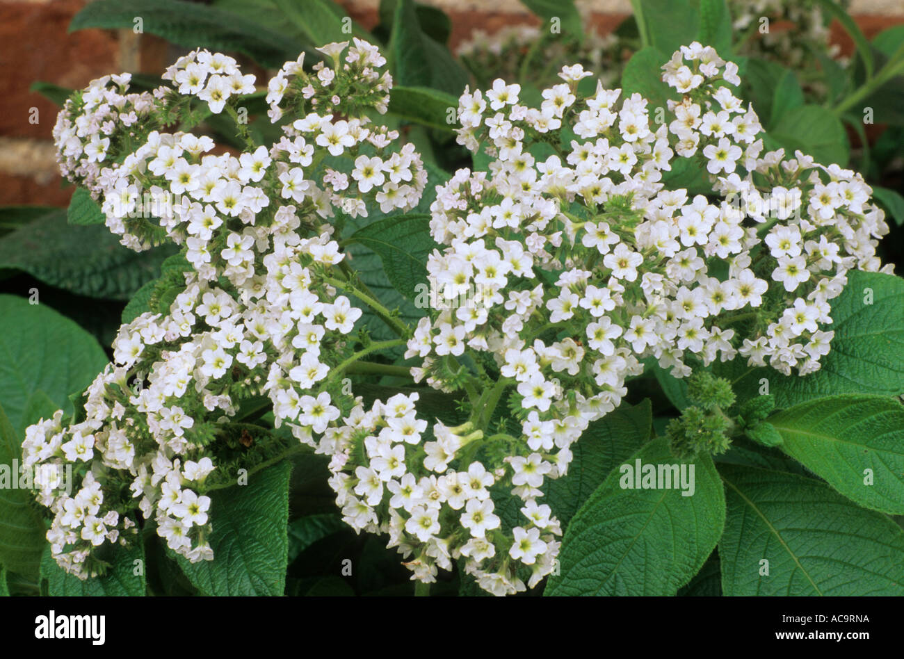 white heliotrope Common heliotrope, cherry pie flower, peruvian heliotrope, peruvian turnsole heliotropium arborescens.