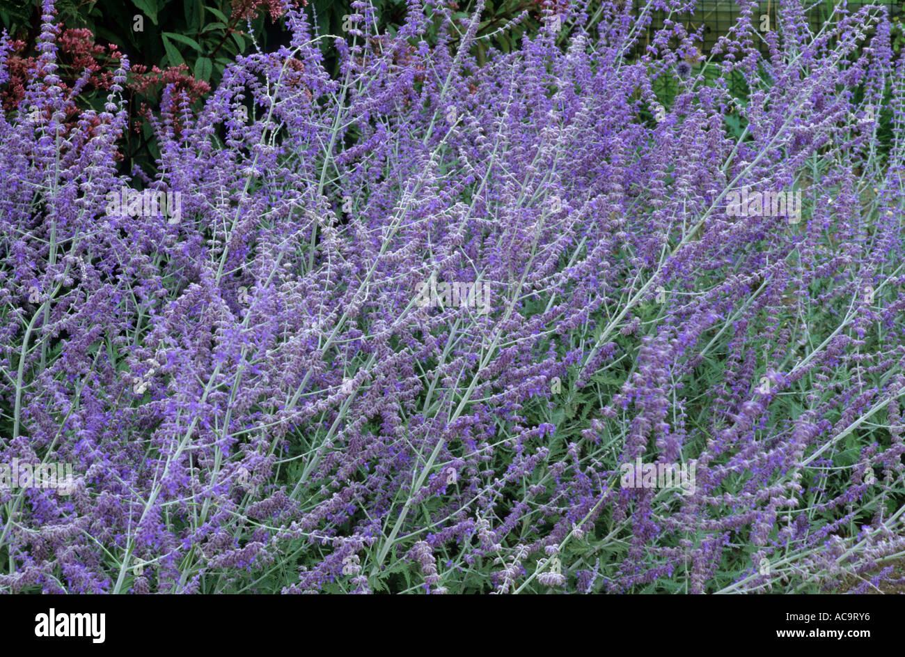 perovskia atriplicifolia 39 blue spire 39 russian sage. Black Bedroom Furniture Sets. Home Design Ideas
