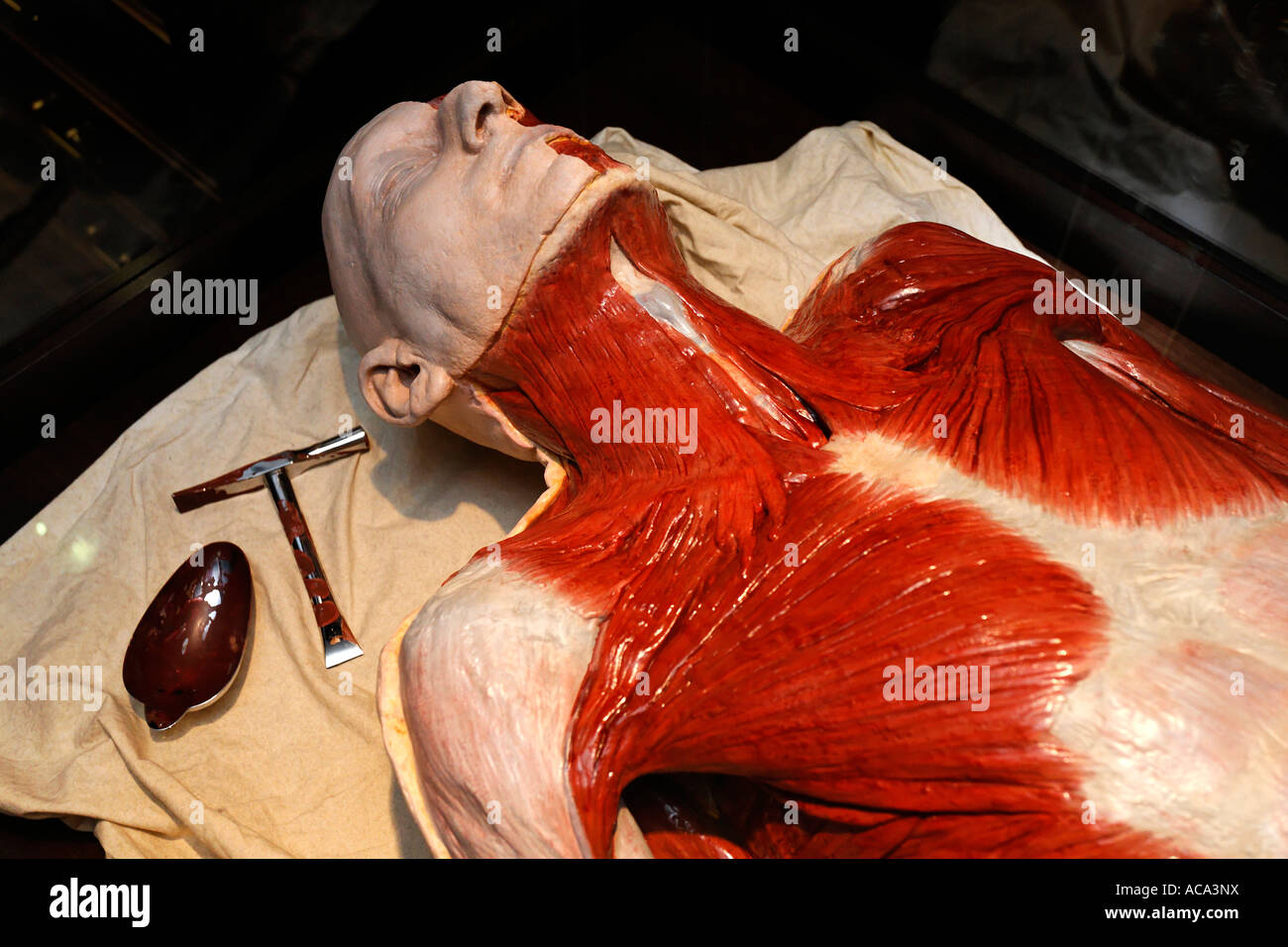 anatomical model of a human body with visible muscles, german, Muscles