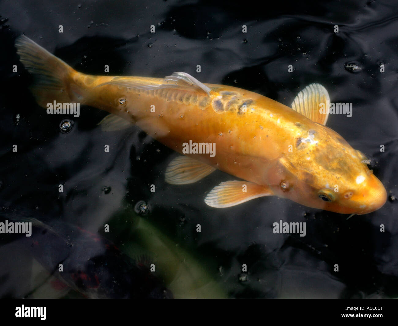 A Lucky Gold Koi Carp Underwater Stock Photo Royalty Free