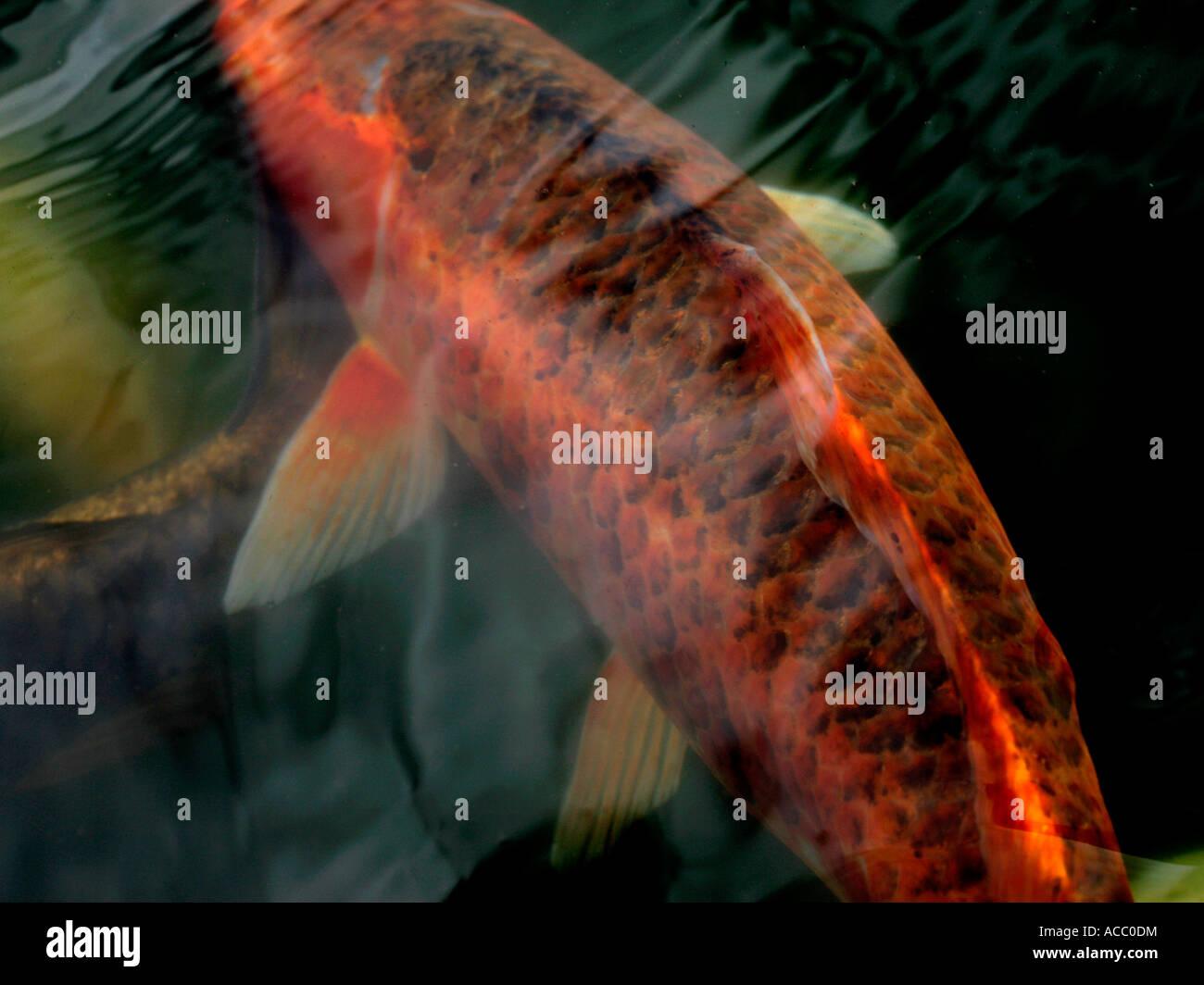 An orange koi carp stock photo 13108639 alamy for Carpe koi orange