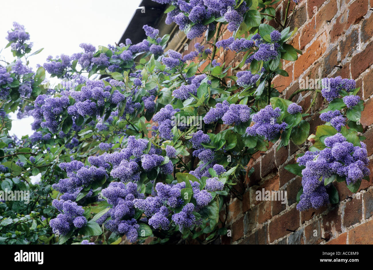 ceanothus arboreus 39 trewithen blue 39 blue flower garden. Black Bedroom Furniture Sets. Home Design Ideas