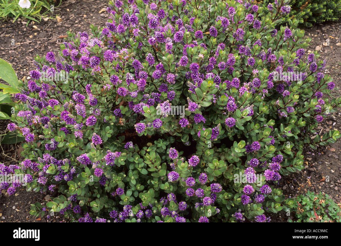 Hebe 39 autumn glory 39 garden plant hebes stock photo for Hebe pianta