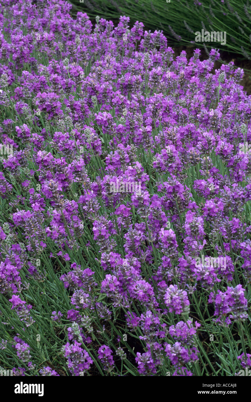 Lavandula Angustifolia U0027Irene Doyleu0027, Lavender, Aromatic Scented Garden  Plant Flower, Lavenders