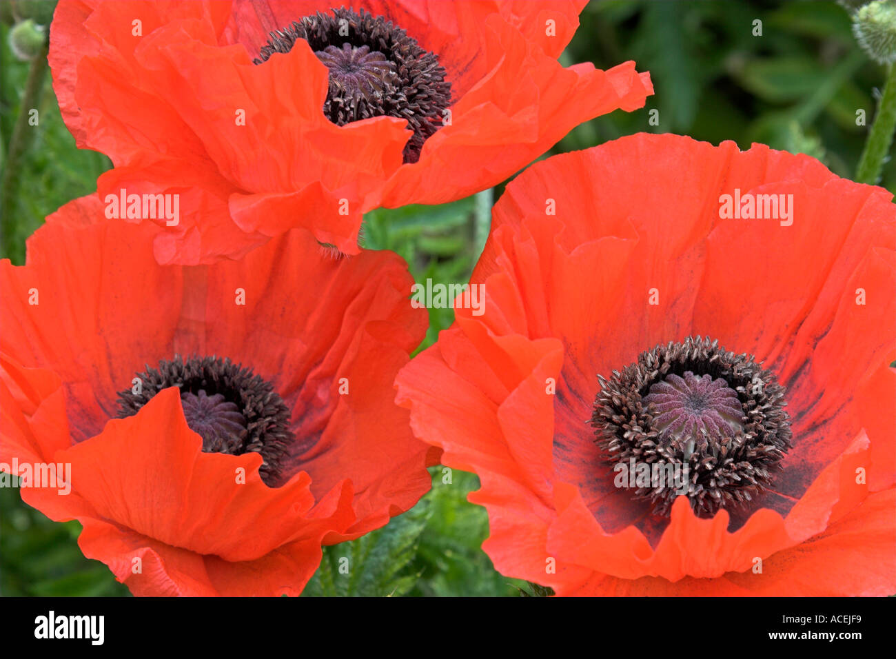 red flowers of oriental poppy botanical name papaver orientale
