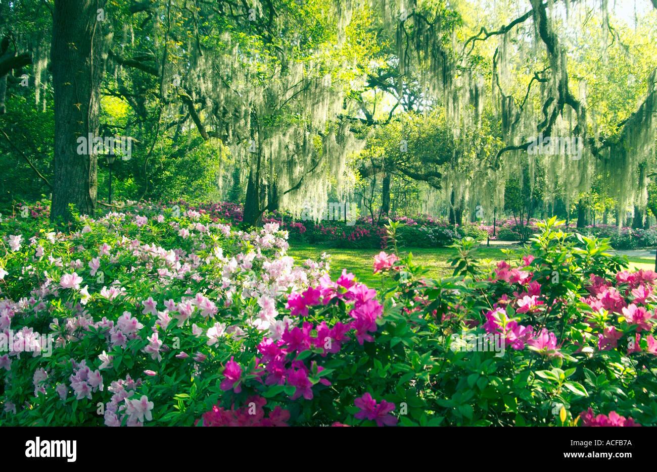 Azalea Blossoms And Spanish Moss In The Parks Of Savannah Georgia