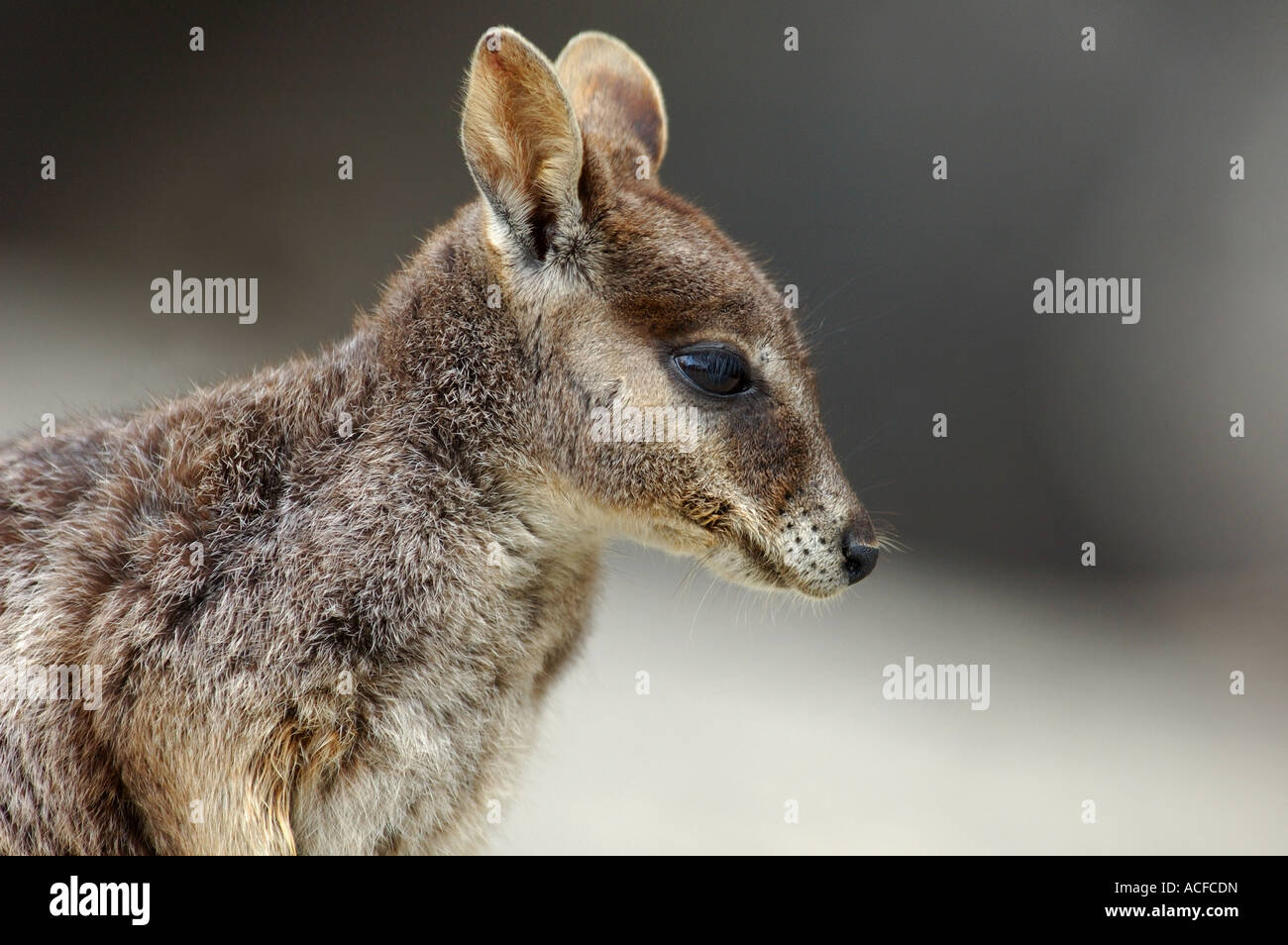 Mareeba Australia  city pictures gallery : Mareeba Rock Wallaby petrogale Mareeba , Australia Stock Photo ...