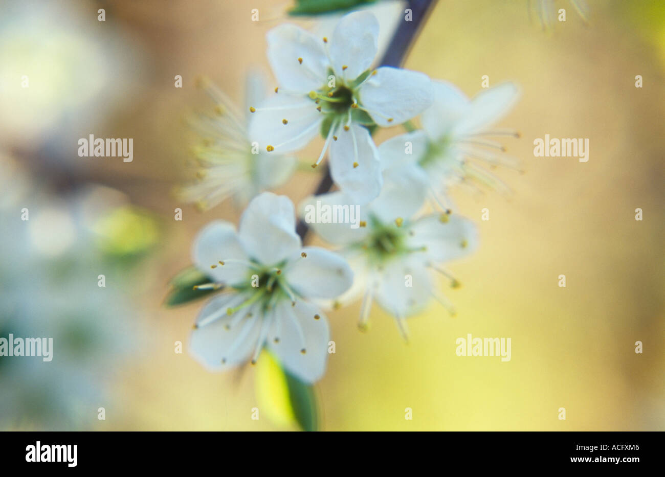Close up of the early spring white flowers with some leaves of stock close up of the early spring white flowers with some leaves of blackthorn or prunus spinosa in warm light mightylinksfo