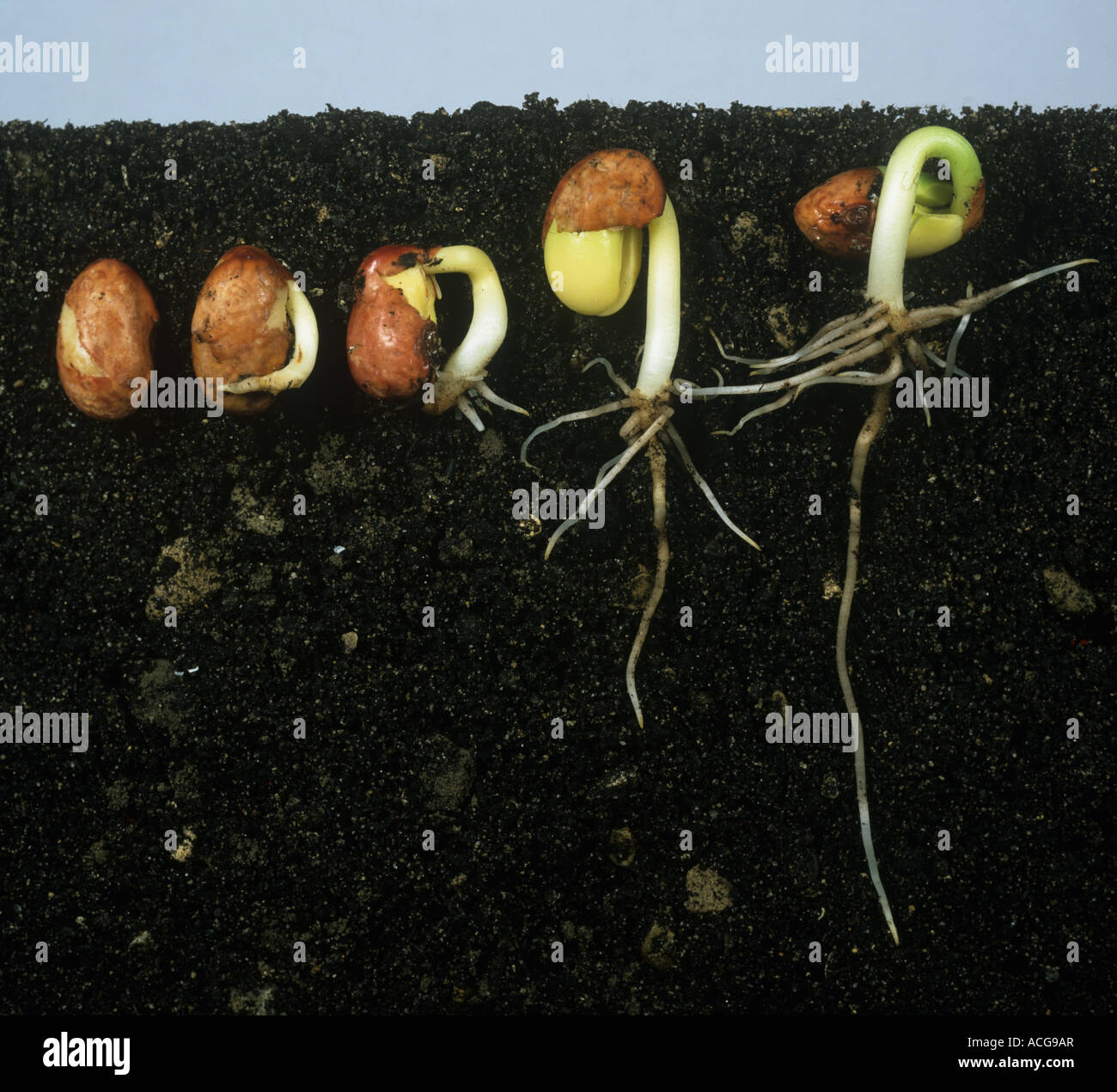 the germination of seeds of the Plants make their own food by using air, water and energy from the sun energy from the sun heats the air and the ground different types of seeds need different temperatures to start to grow or germinate.
