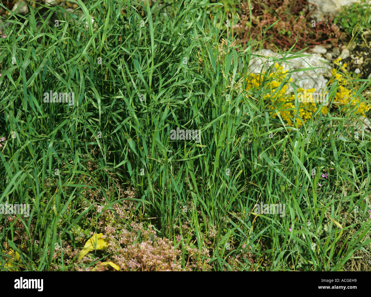 Grass Couch Couch Agropyron Repens A Serious Grass Weed In A Garden Rockery