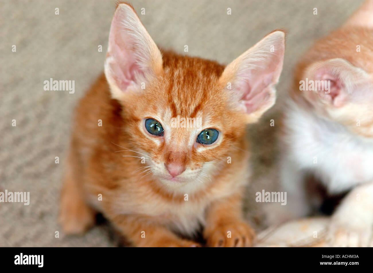 7 week old Oriental Shorthair crosses with a Cornish Rex Kittens