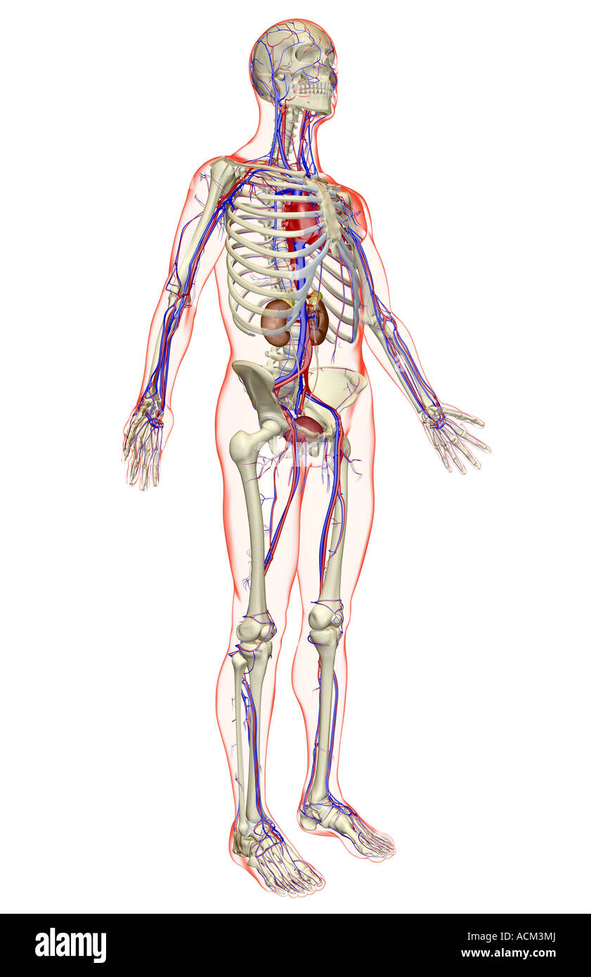 The urinary and the vascular system Stock Photo: 13184993 - Alamy