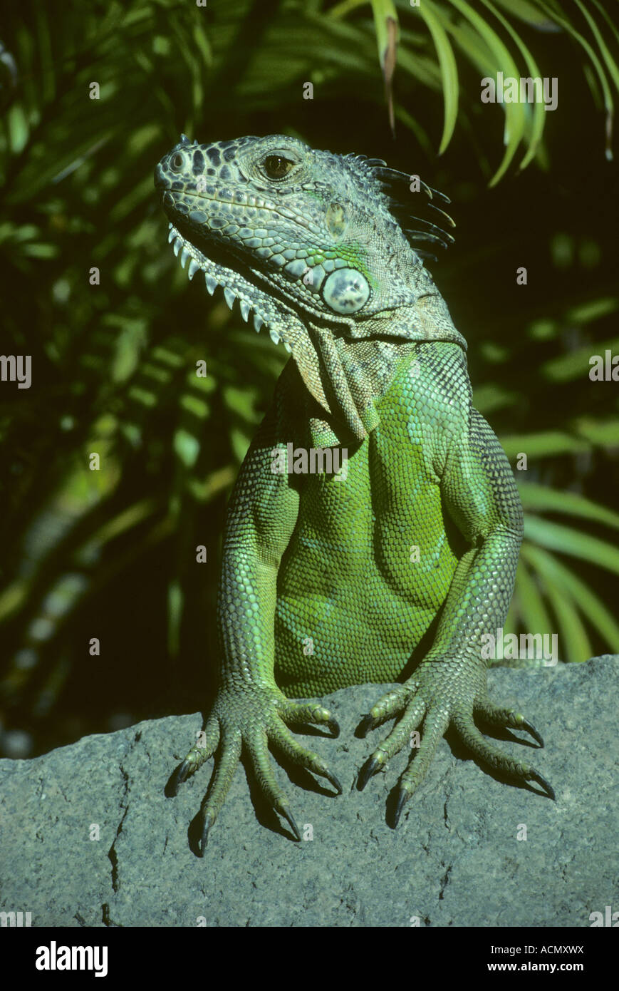 the iguana v's the thai water The iguana is a large docile species of lizard, meaning that iguanas are often a popular choice when keeping exotic petsiguanas have excellent sight allowing the iguana to iguanas are native to the jungles of central and south america, and the caribbean.