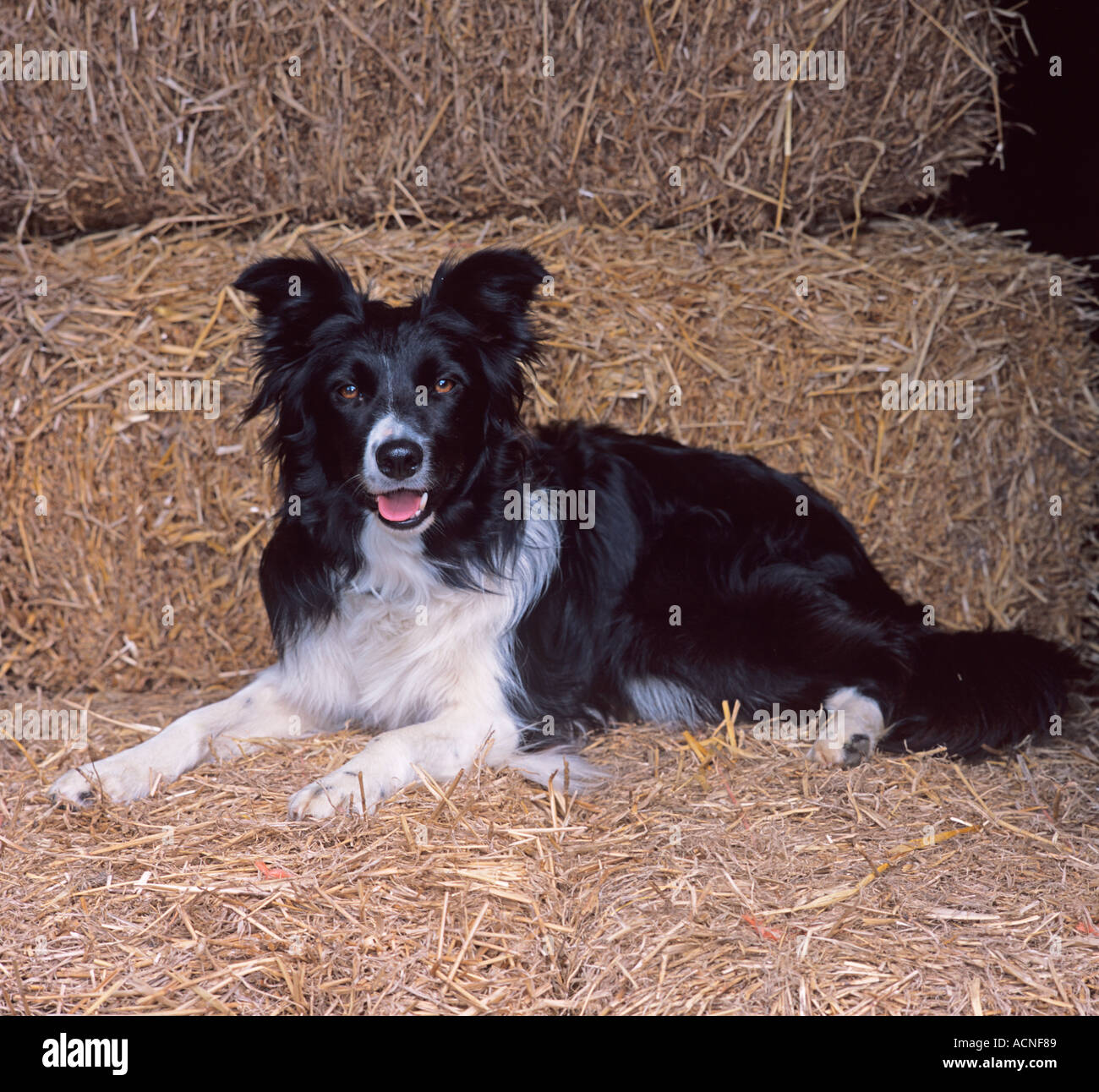 D B Farm Border Collies Border Collie working ...