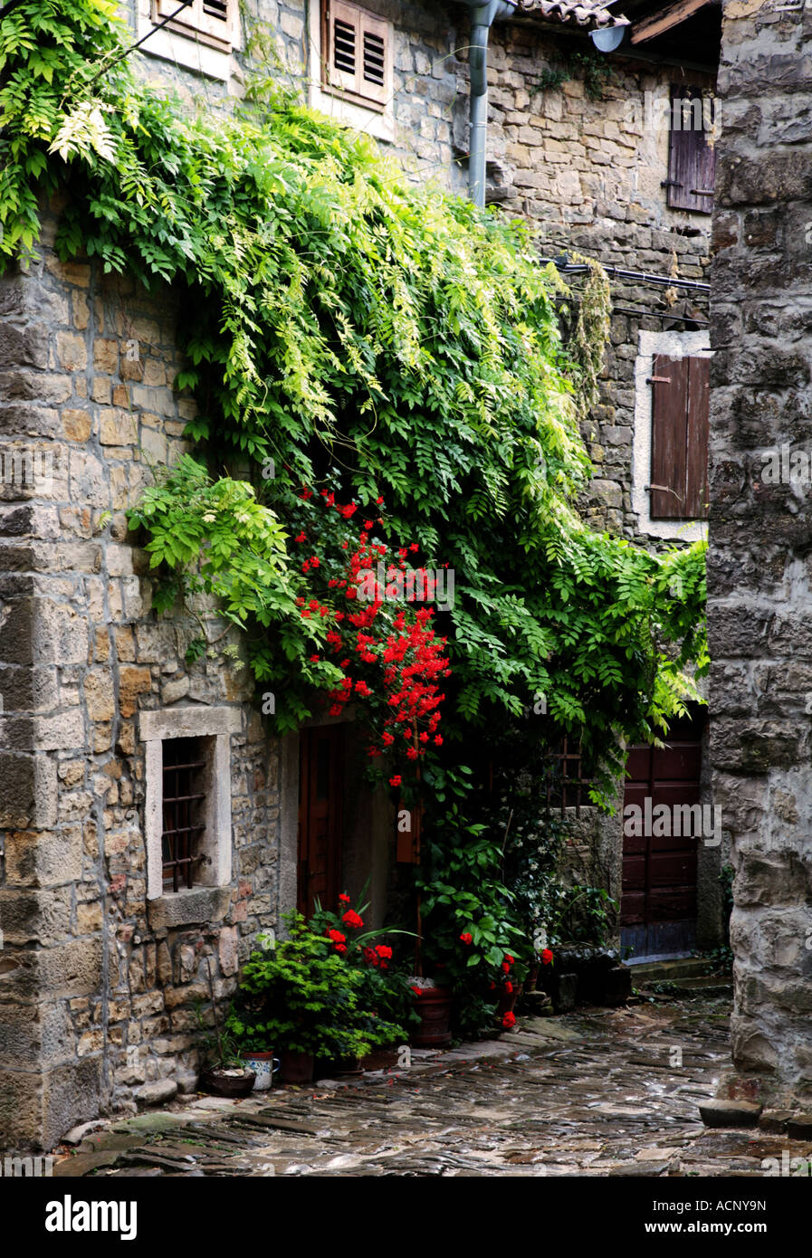 Climbing Plants On Front Of Old House In Groznjan Istria