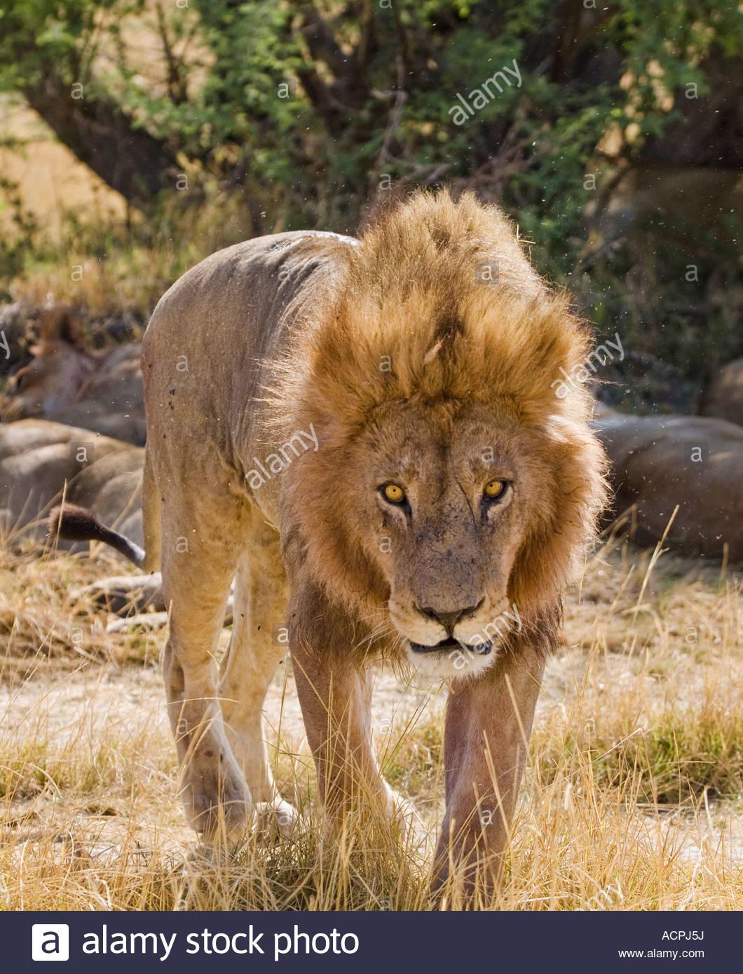 lion walking towards camera with menacing look moremi