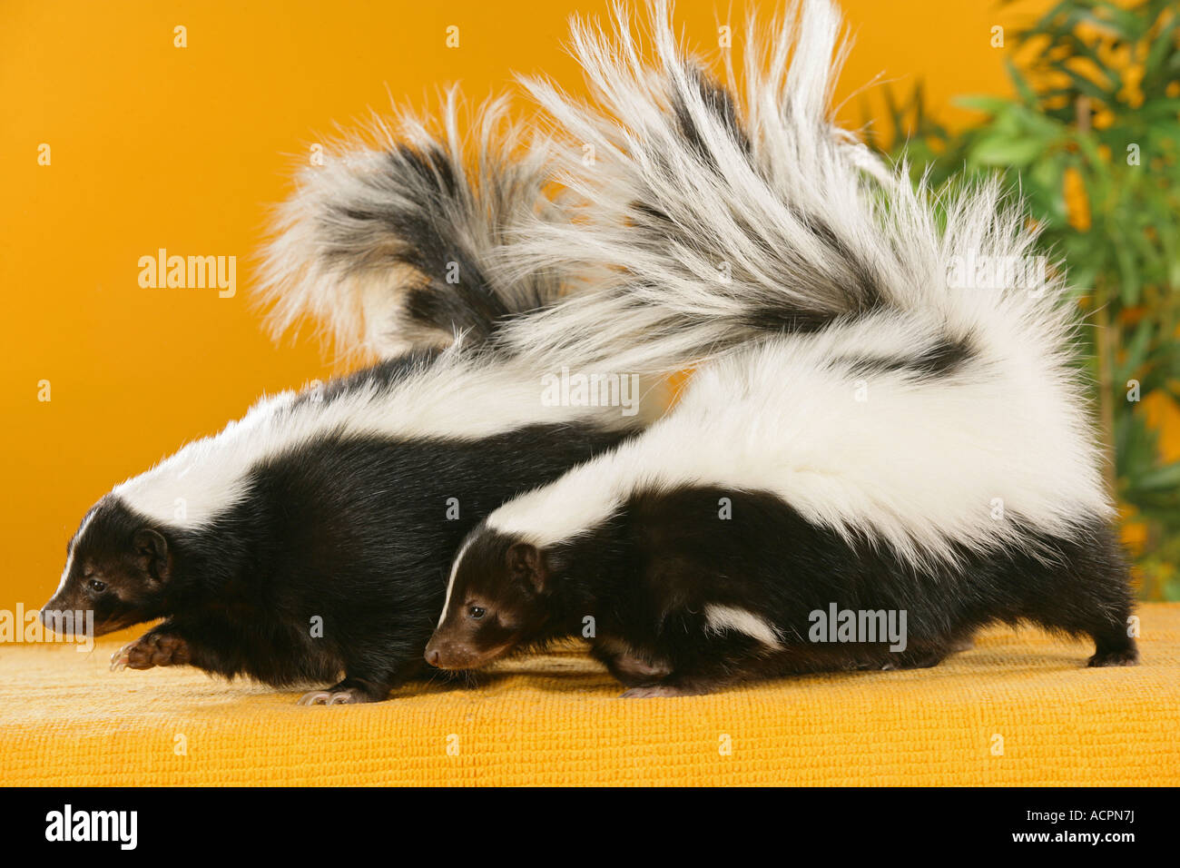 two skunks stock photo royalty free image 13209701 alamy