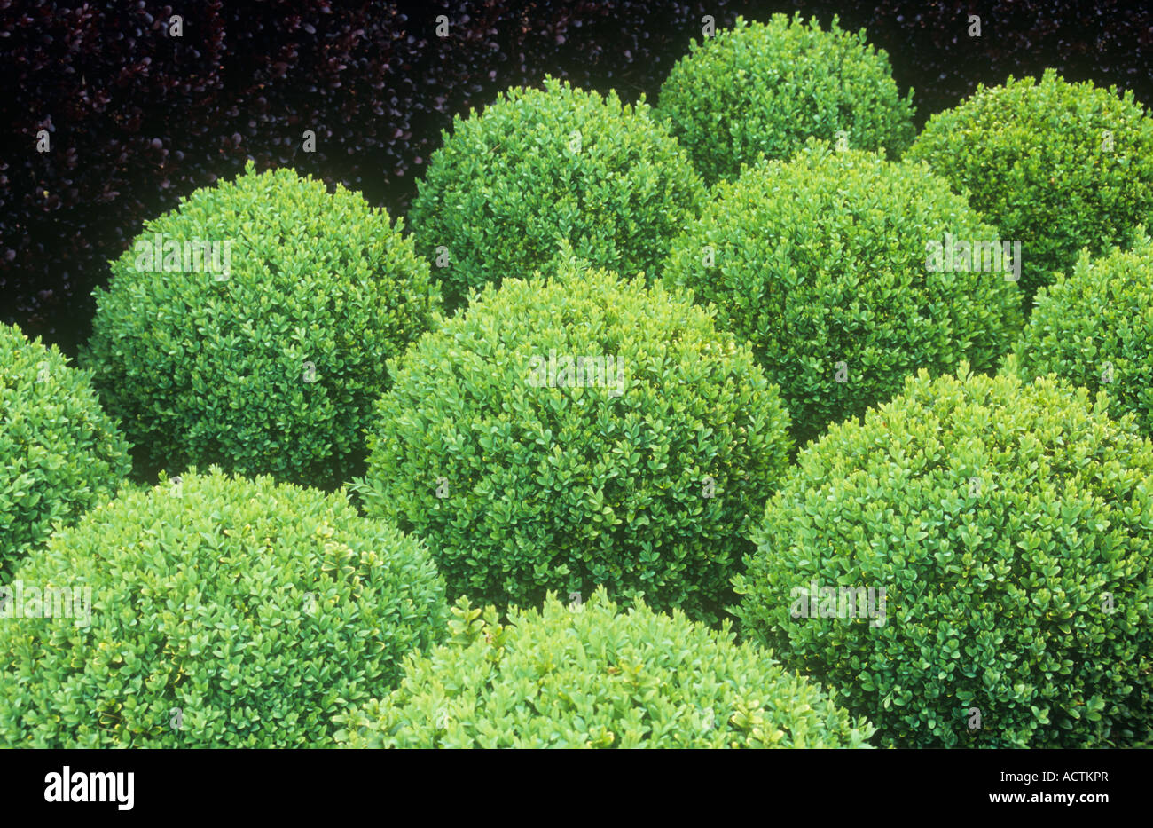 Light green Box or Buxus shrubs clipped into low spheres contrasting with deep purple of Barberry hedge or Berberis thunbergii & Light green Box or Buxus shrubs clipped into low spheres ... azcodes.com
