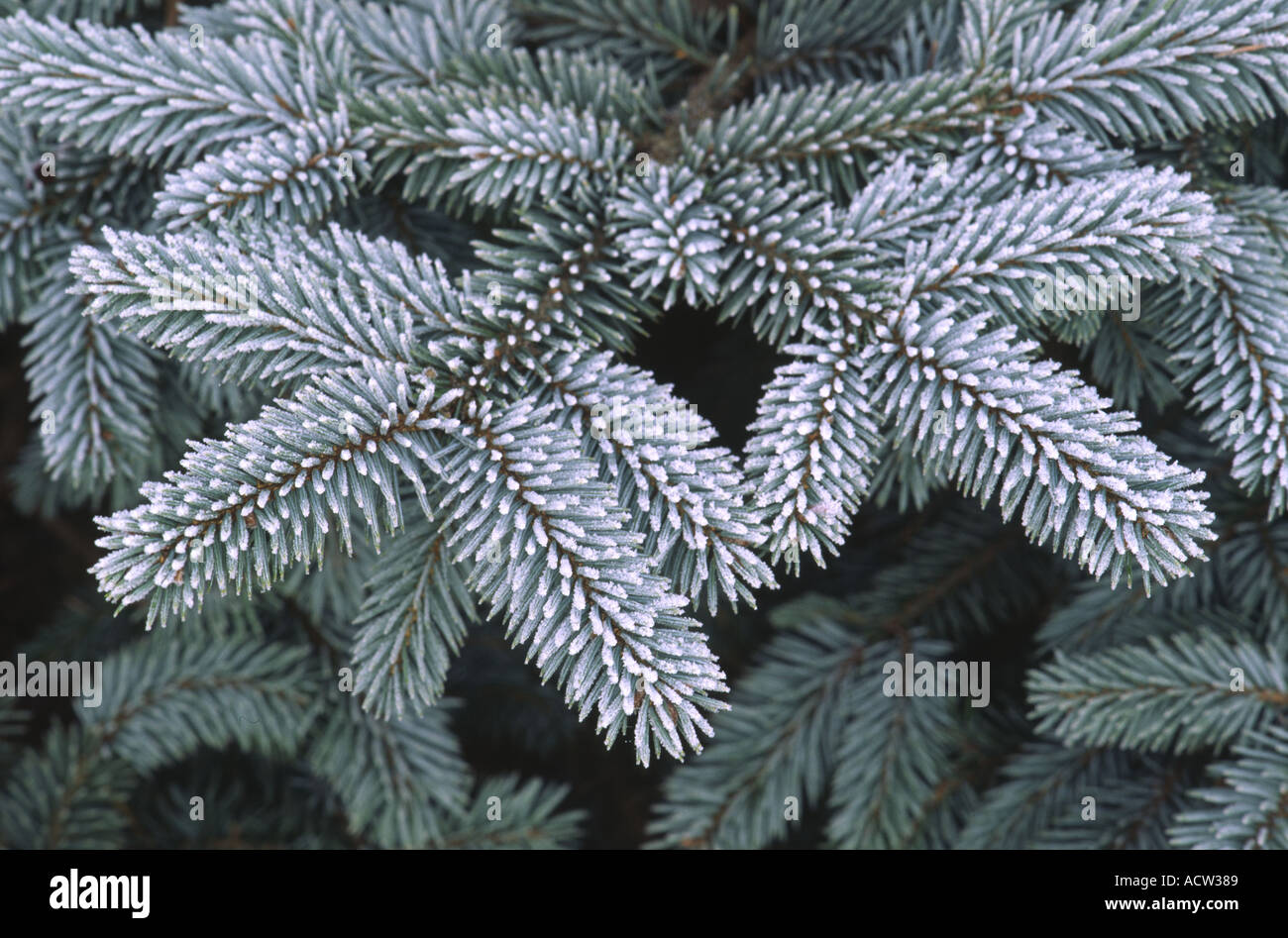 White Spruce Tree Leaves