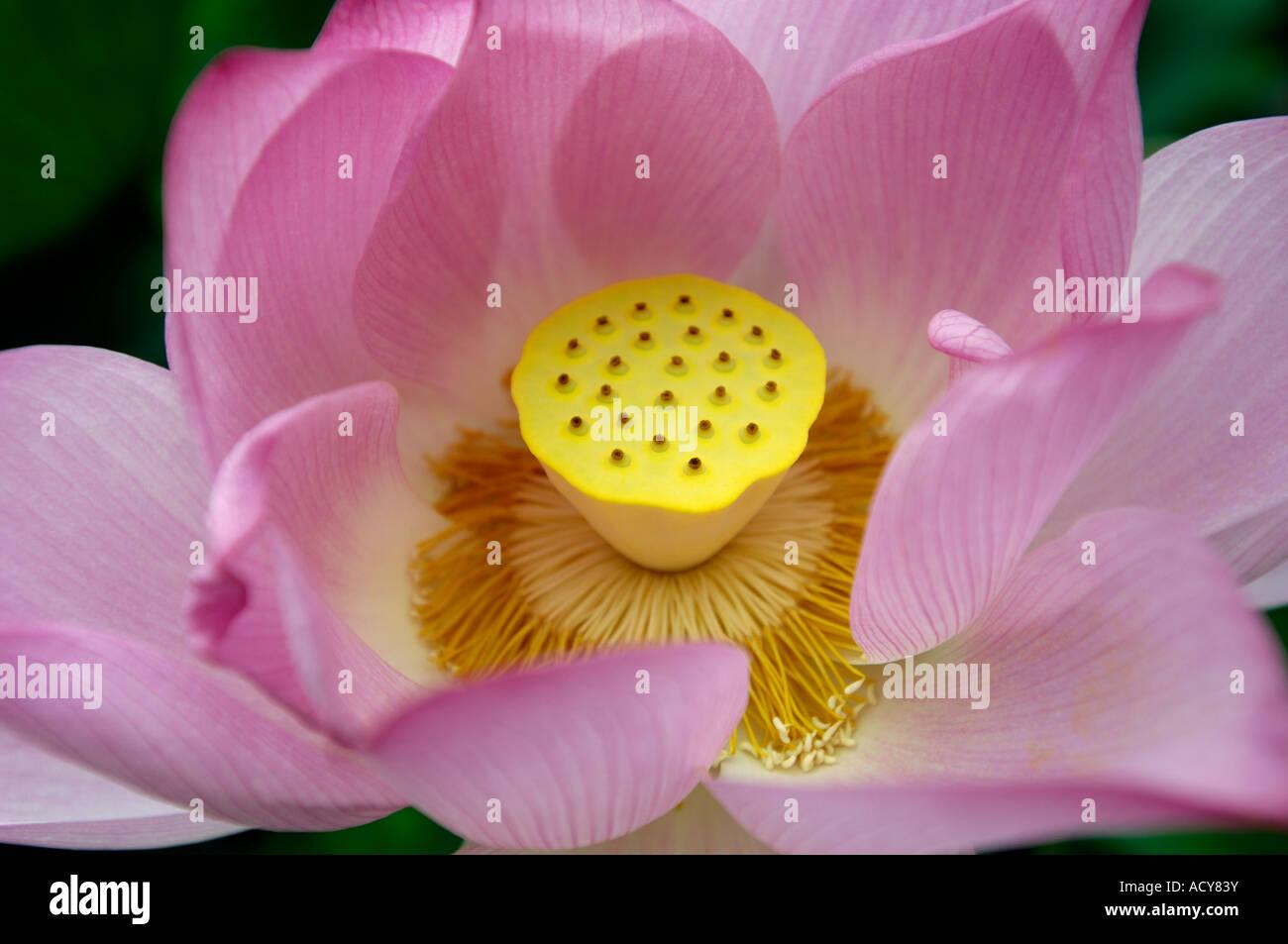 Lotus flower china stock photos lotus flower china stock images lotus flower china pistil stamen stock image dhlflorist Choice Image