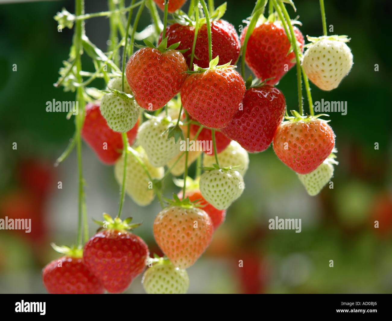 Unripe Strawberries Strawberry plan...