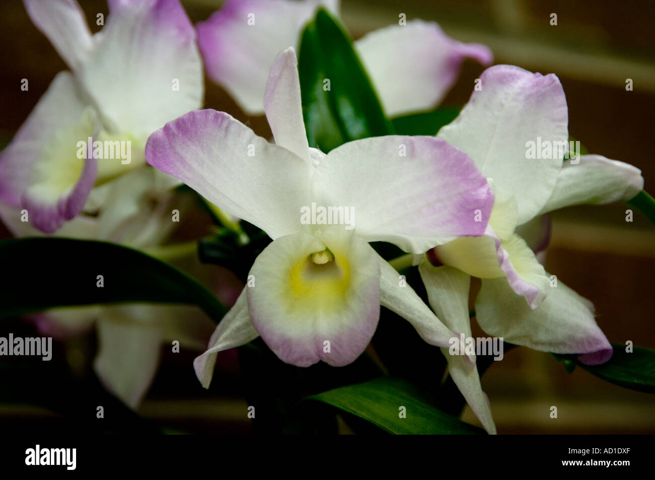 dendrobium nobile orchid hybrid stock photo royalty free. Black Bedroom Furniture Sets. Home Design Ideas