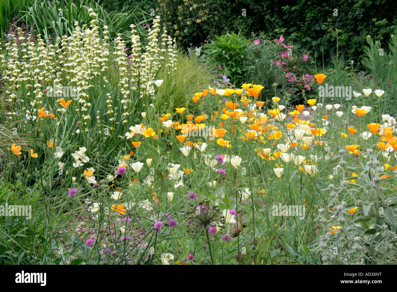 californian poppies and sisyrinchium striatum in holbrook
