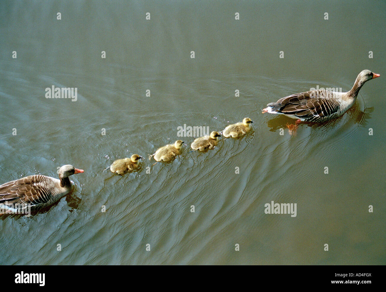 a family of ducks swimming in a line stock photo royalty free