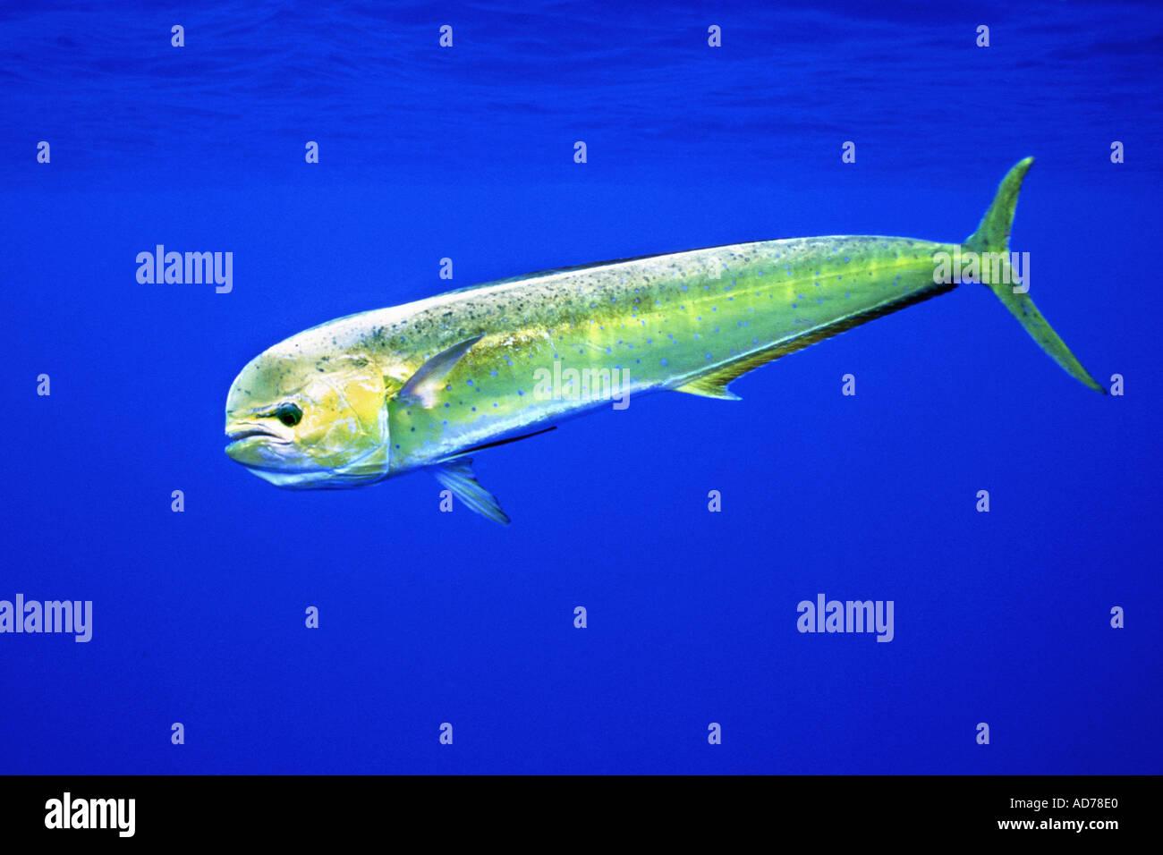 Mahi mahi dolphin fish or dorado coryphaena hippurus for Mahi mahi fish