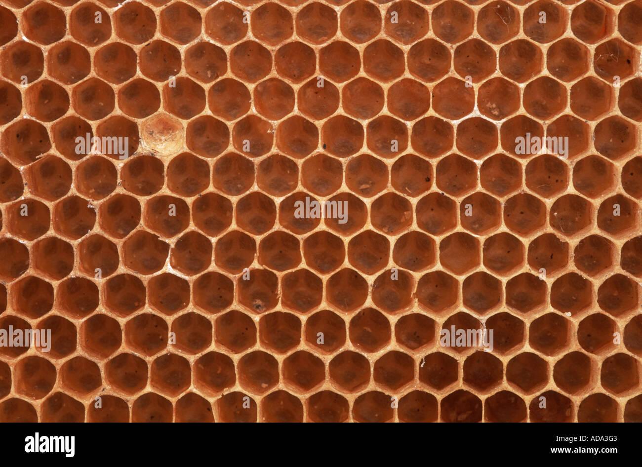 honey bee hive bee apis mellifera mellifera honey comb cutout