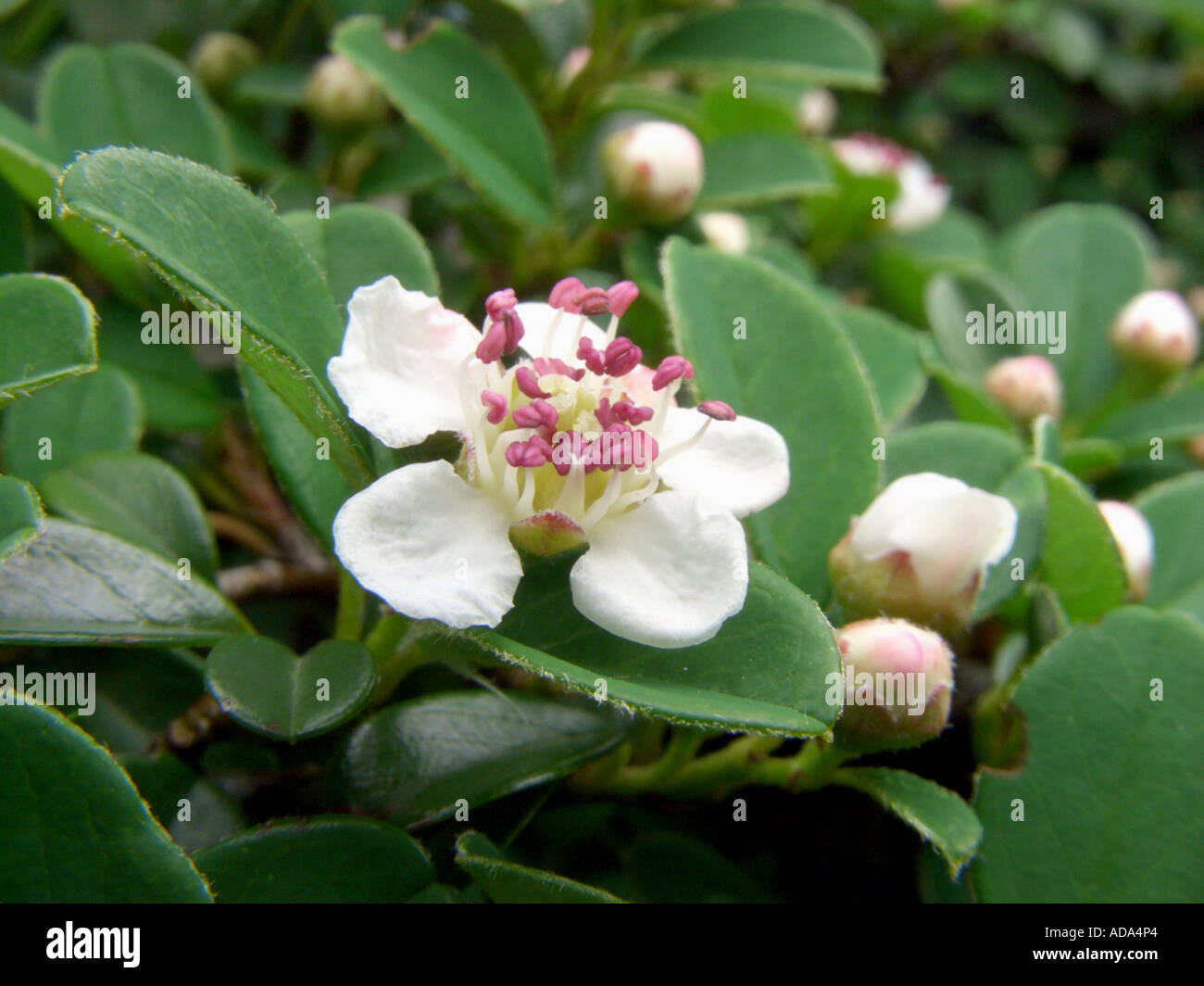 Bearberry Facts  Softschoolscom