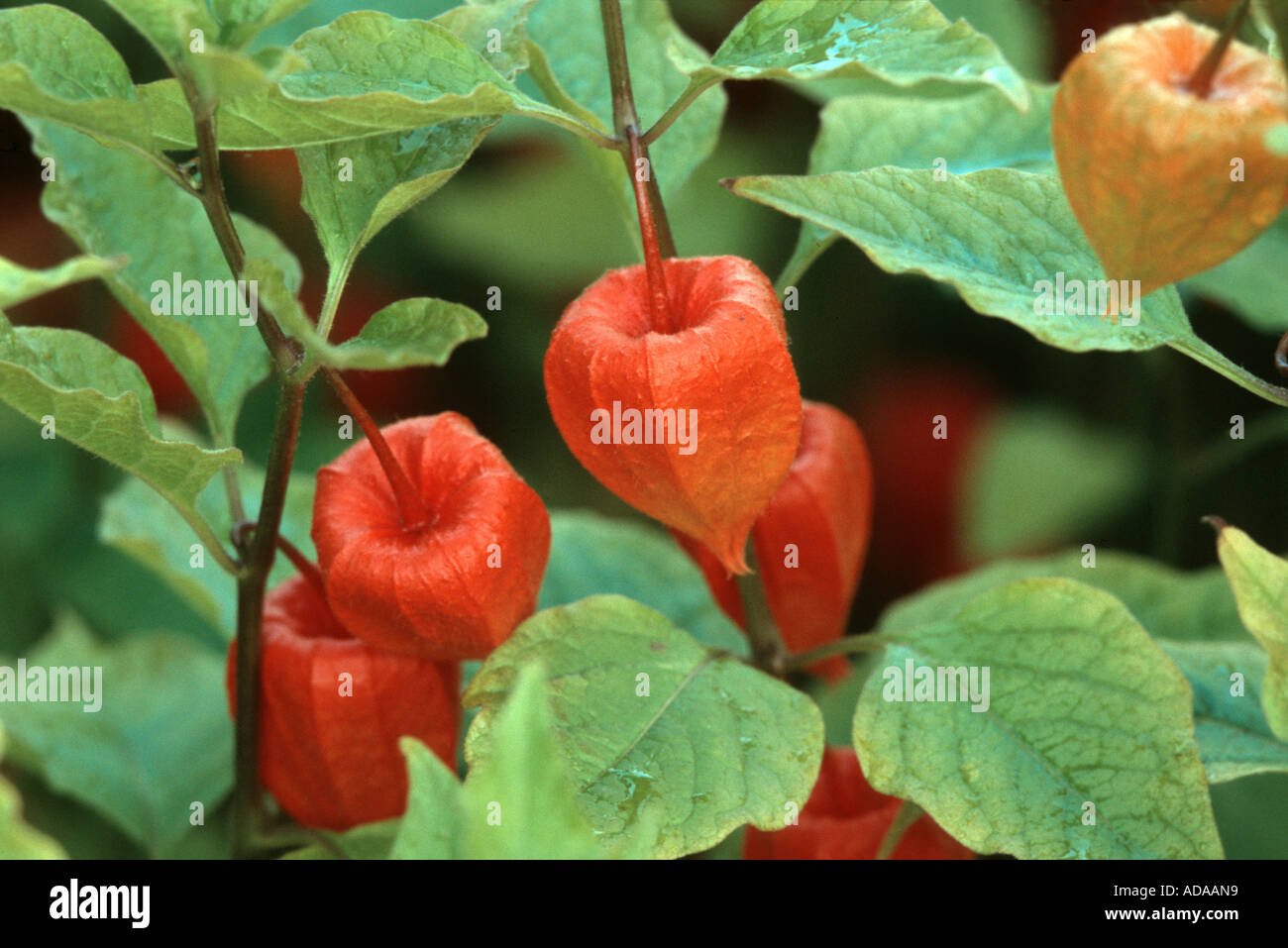chineselanternplant, chinese lantern, japanese lantern, winter, Beautiful flower