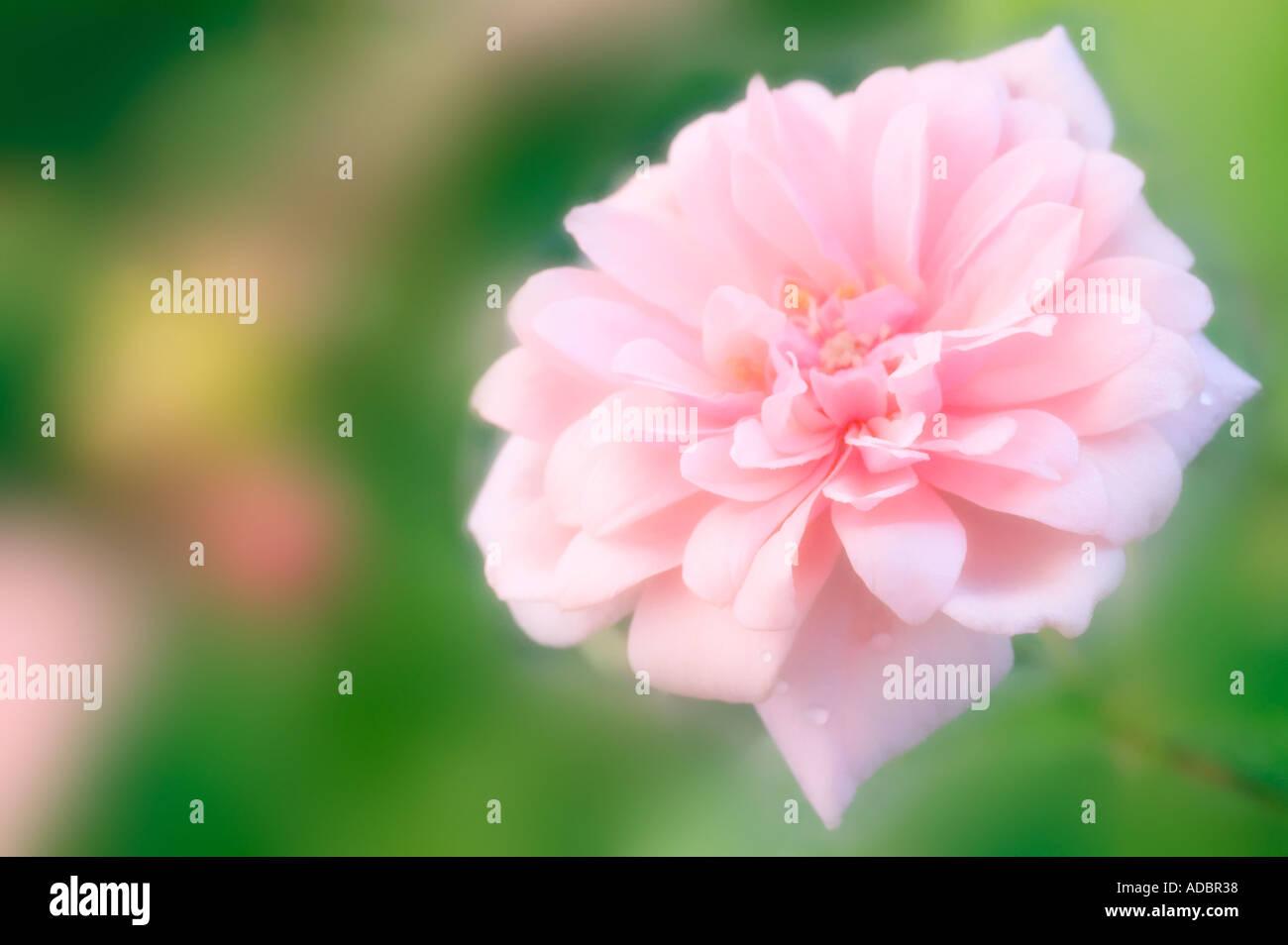 Cecile Brunner Polyantha Rose Polyantha Rose Flower Cecile