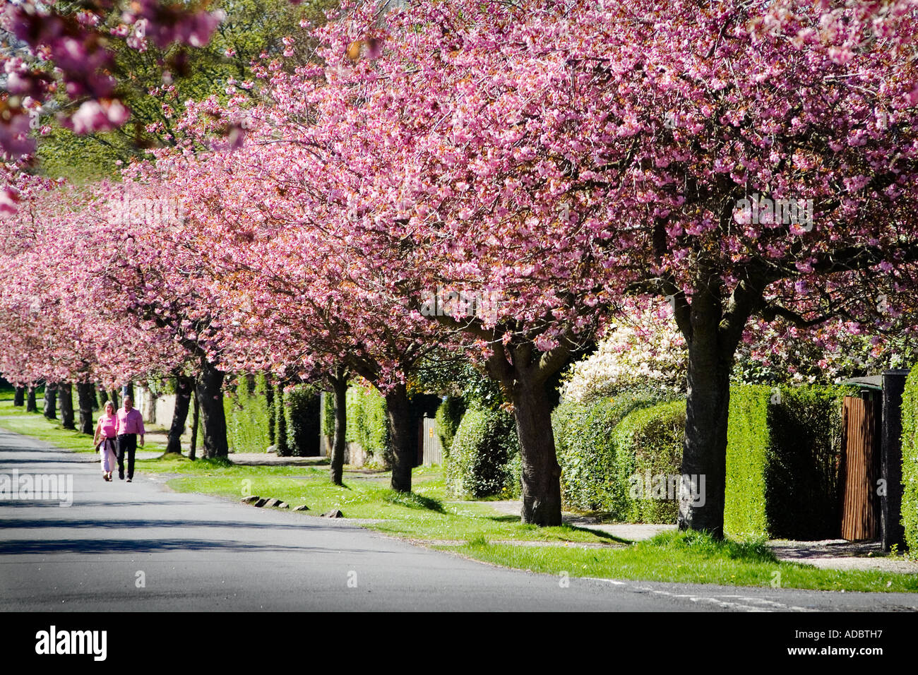 Pink Cherry Blossom Trees Which Line The Small Streets Of