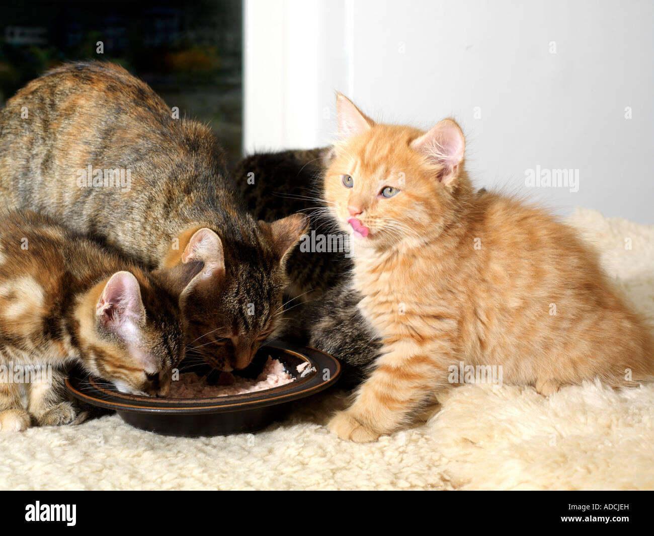 Mother Cat and Kittens Eating Stock Royalty Free Image