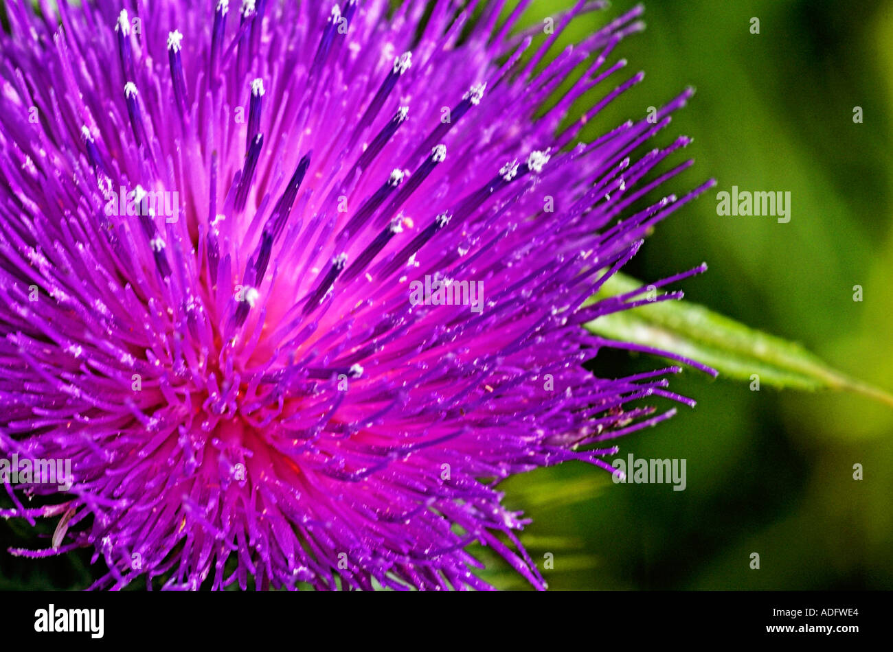 flower detail of a thistle national emblem of scotland stock photo