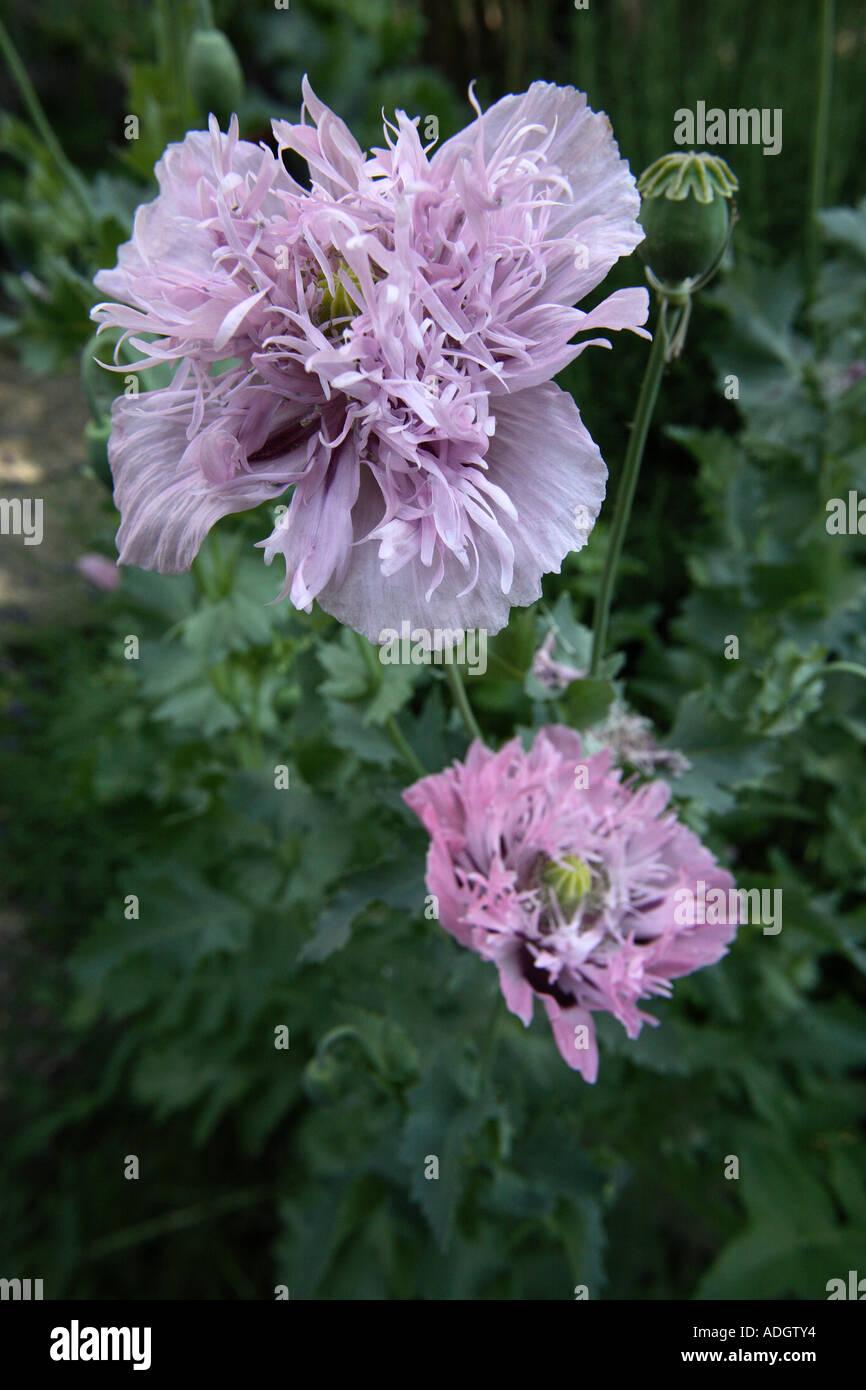 Purple Large Opium Poppies Or Poppy Flowers Papaver Somniferum